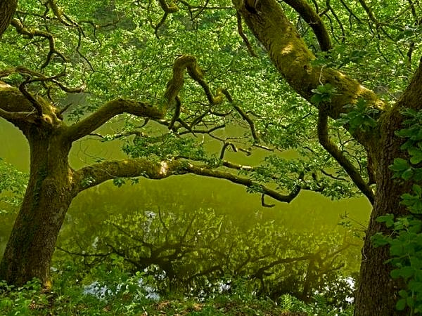 Oak Trees on the River Lliw Embankment Swansea