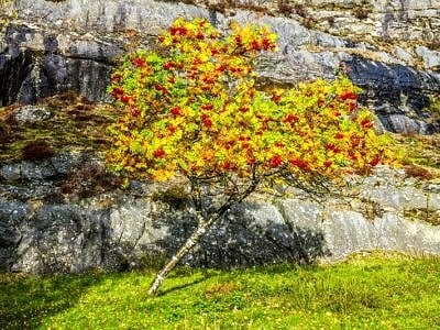Rowan Tree Elan Valley Powys