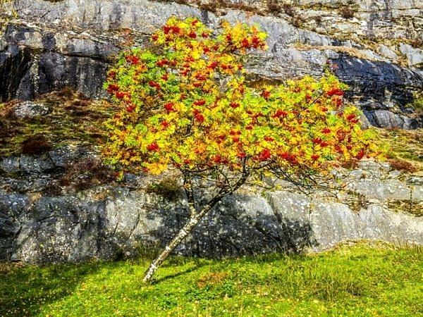 Rowan Tree Elan Valley Powys