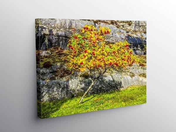 Rowan Tree Elan Valley Powys, Canvas Print