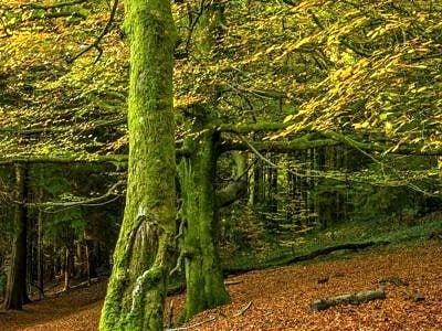 Beech Trees Tyn y Coed Woods Cardiff in Autumn