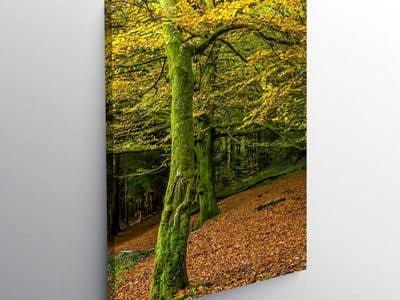Beech Trees Tyn y Coed Woods Cardiff in Autumn, Canvas Print
