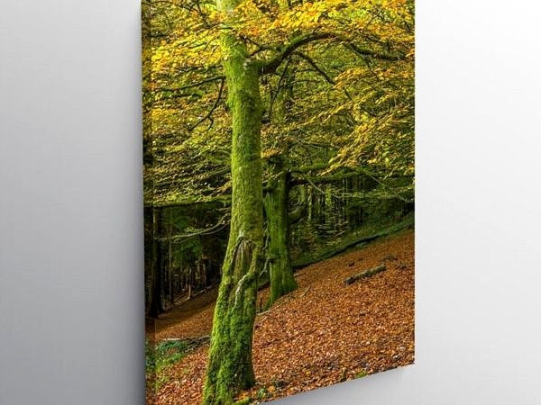 Beech Trees Tyn y Coed Woods Cardiff in Autumn, Canvas Print