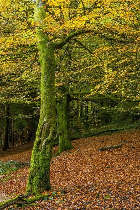 Beech Trees Tyn y Coed Woods Cardiff in Autumn