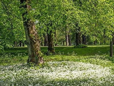 Spring Woodland and Ramsons Bute Park Cardiff