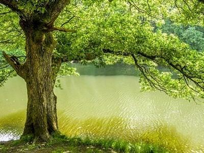 Oak Tree on the banks of the River Lliw near Swansea