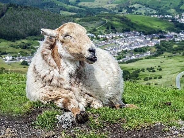 Sheep Guarding the Rhondda Valley