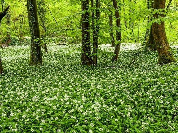 Ramsons in Fforest Ganol Woods Cardiff in Spring