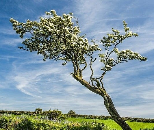 Hawthorn Tree in Spring Blossom Pembrokeshire