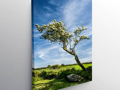 Hawthorn Tree in Spring Blossom Pembrokeshire, Canvas Print