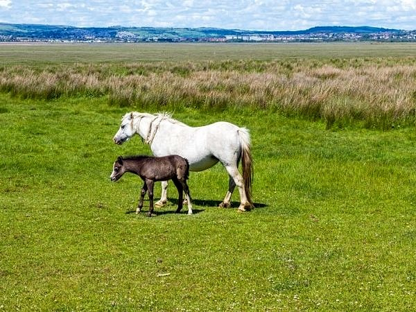 Horse and Foal Llanrhidian Marches Gower