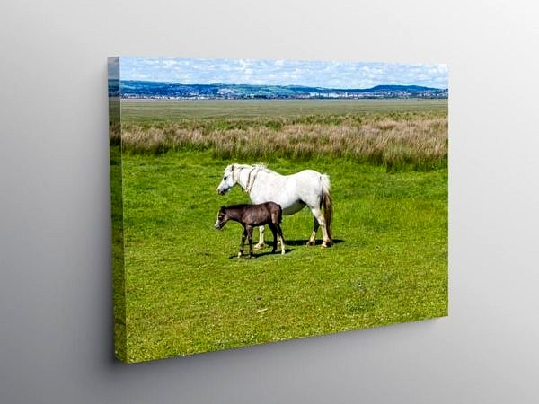 Horse and Foal Llanrhidian Marshes Gower, Canvas Print