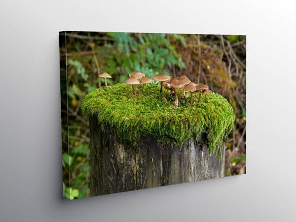 Toadstools growing on a fencepost top, Canvas Print