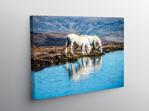 Two White Horses Mynydd Llangorse, Canvas Print