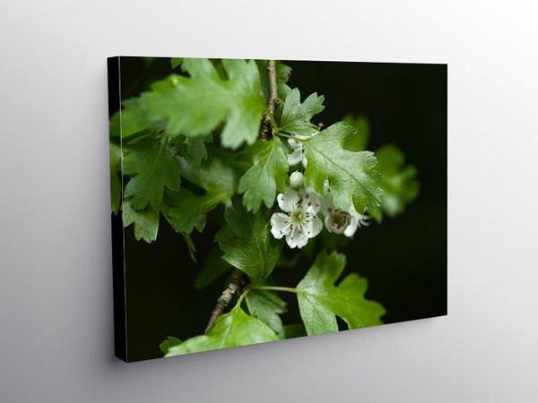 Hawthorn Blossom Crataegus monogyna, Canvas Print
