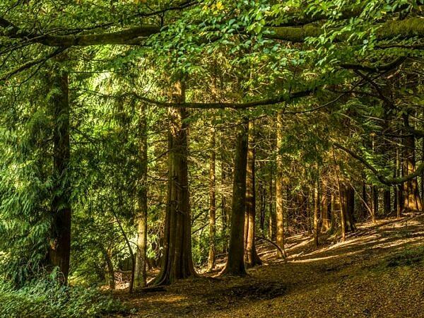 Pine Trees in Woodland Pentyrch Cardiff