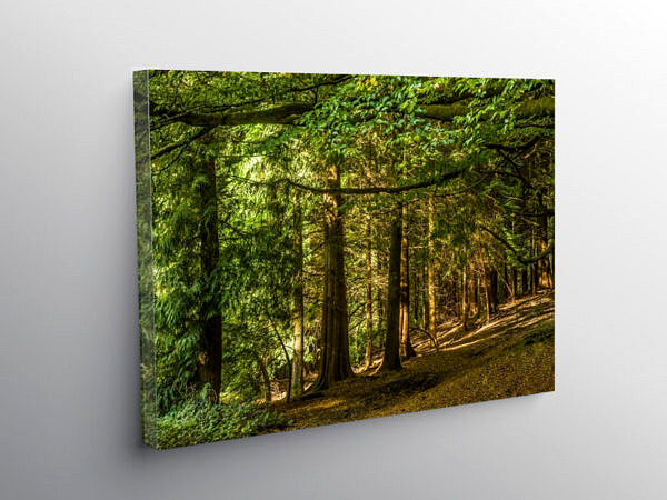 Pine Trees in a Woodland at Pentyrch near Cardiff, Canvas Print