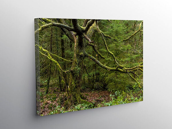 Winter Forest Scene In Llanwynno Forest, Canvas Print