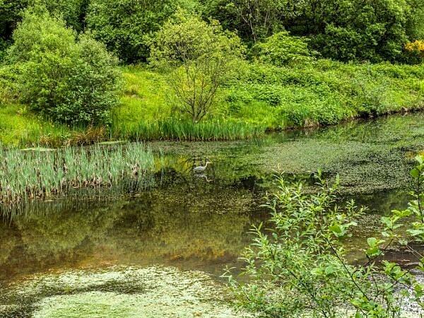 Clydach Upper Pond with a Heron Rhondda Fawr